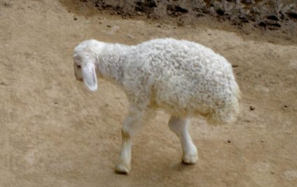 pecorella-2-gambe.png